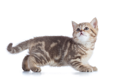 Side view of funny little Scottish straight kitten. Isolated on white background. Stock Photo