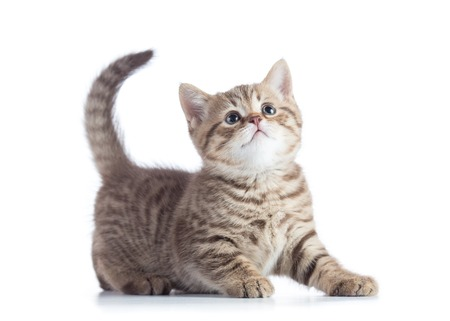 Beautiful scottish cat kitten profile side view isolated