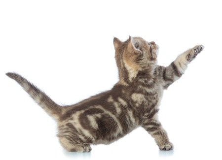 Playful Scottish kitten pure breed with paw stretched out isolated on white Stock Photo