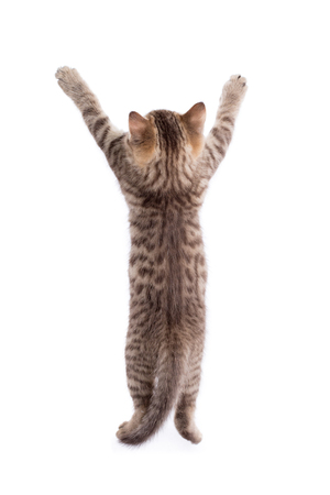 rear view of funny tabby-cat kitten standing on legs isolated