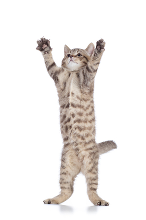 Tabby cat kitten leaping isolated on white background