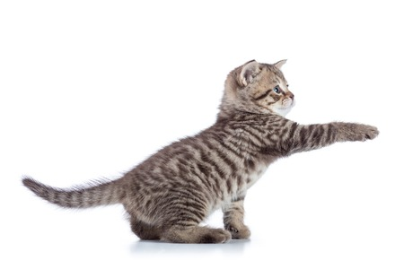 Striped Scottish kitten pure breed with paw stretched out isolated Stock Photo