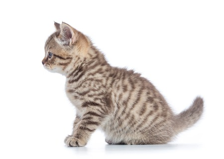 Scottish cat kitten profile side view isolated on white Stock Photo
