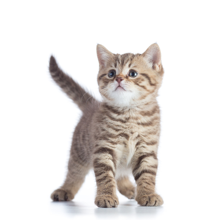 Cute baby tabby kitten isolated on white background Stock Photo - 85562916
