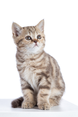 Cute scottish shorthair kitten cat sitting isolated Stock Photo