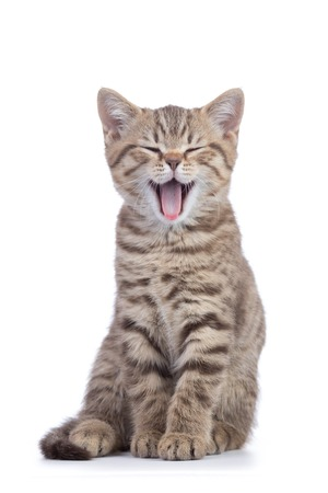 Small cat kitten with open mouth yawning. Studio shot.
