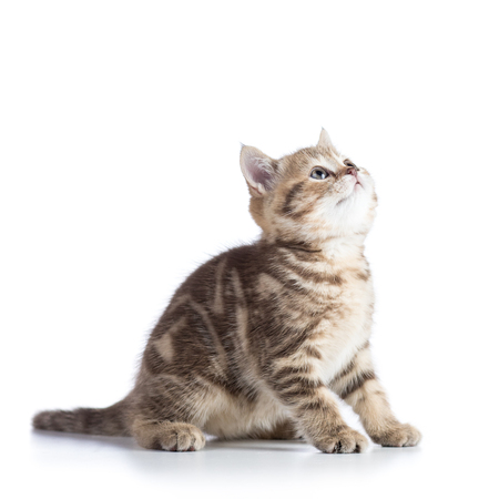 Cute scottish shorthair kitten cat looks up isolated