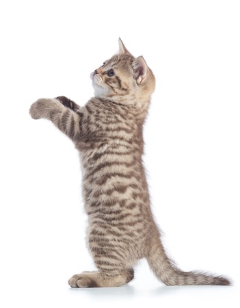 Standing kitten cat side view isolated over white