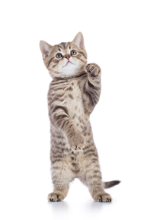 Standing young cat kitten isolated on white background