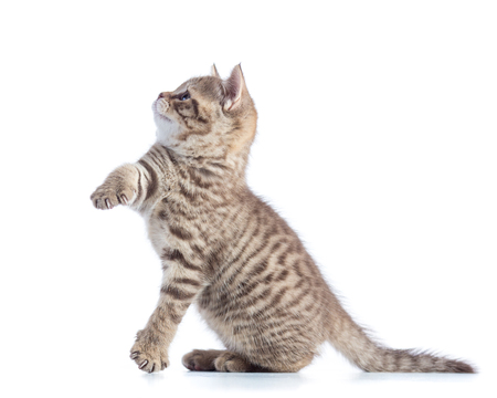 Cute cat kitten standing profile side view over white background cutout