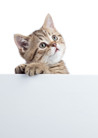 Funny kitten peeking out of a blank cardboard, isolated on white