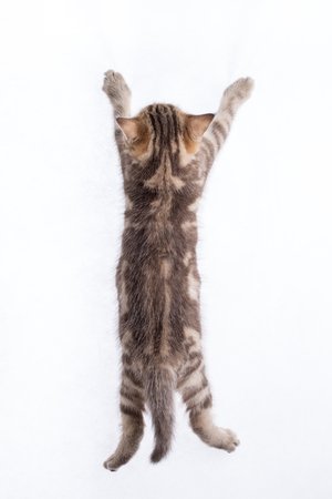 rear view of funny tabby cat kitten
