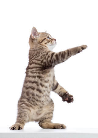 Cat kitten standing and lifted a paw. Isolated on white Banco de Imagens