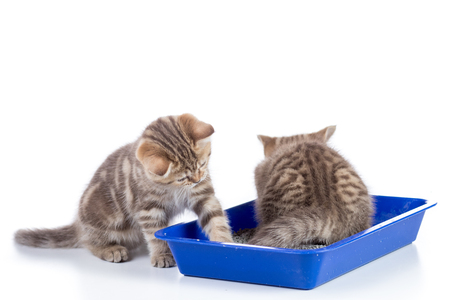 Small cat kittens in toilet tray box with litter isolated on white Stock Photo