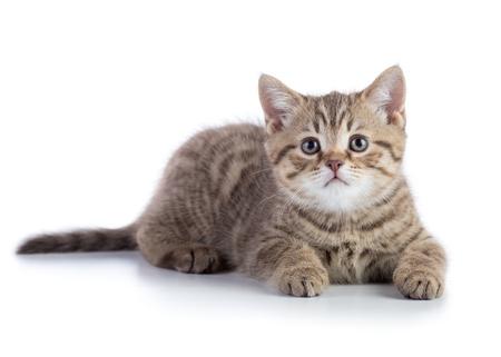 Lying kitten cat isolated