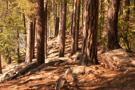 strong roots: pine grove with strong roots