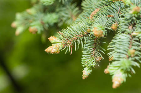 sprig of blue spruce in spring close-up Stock Photo