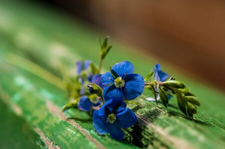 blue forget-me-not flowers close-up on nature background and old wooden boards