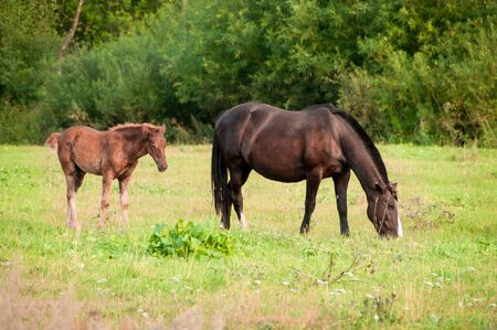 horse and a foal graze on a green meadow in summer Stock Photo