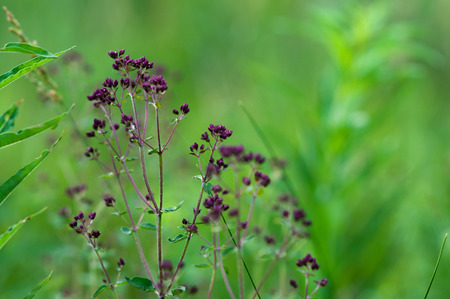 Meadow plants oregano sunny day in summer
