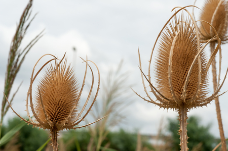 Dipsacus sativus wild dried flowers in nature close-up Stock Photo