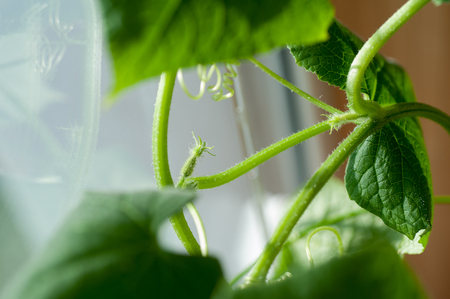 Cucumber seedlings with buds and cucumber ovaries close-up