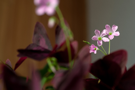 Oxalis acetosella houseplant, butterfly flower - Oxalis, or Kislitsa with purple flowers close-up Imagens