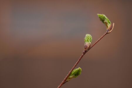 Young leaves on a birch tree close-up