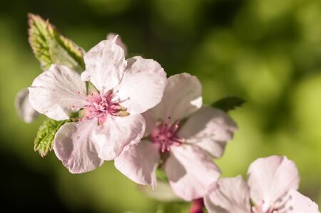 branch of blooming cherry in spring sunny day on a green background of foliage very gently