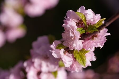 branch of a blooming plum in spring sunny day on a green background of foliage is very gentle