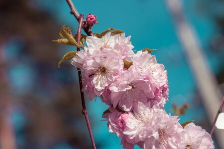 branch of a blossoming plum in the spring on a sunny day against a blue sky background very gently Stock Photo