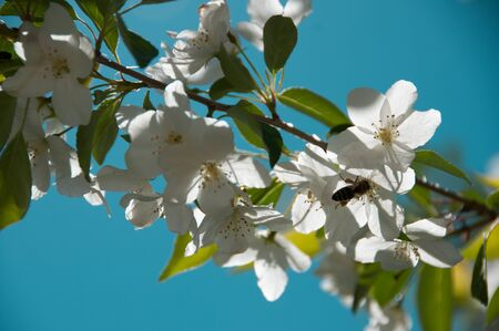 apple blossom in spring sunny day