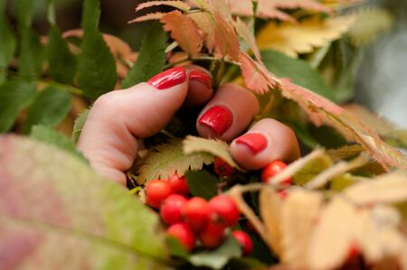 Autumn leaves and rowan berries in the hand of a girl with bright nails