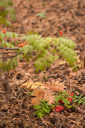 Autumn foliage and rowan berries on the ground in the forest Stock Photo