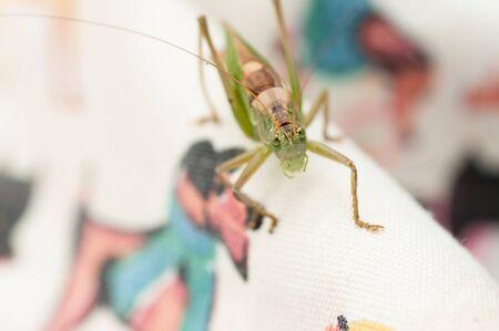 Green grasshopper close-up
