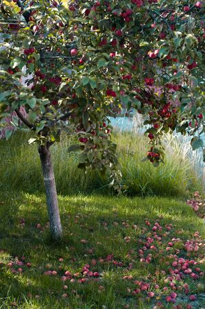 Apple tree with red apples and fallen apples on the grass in early autumn. Harvesting.