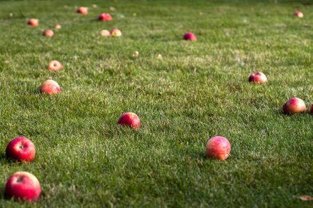 Red apples fallen from the apple tree lie on the green grass in the garden in early autumn. Harvesting. The ripening process. Stockfoto