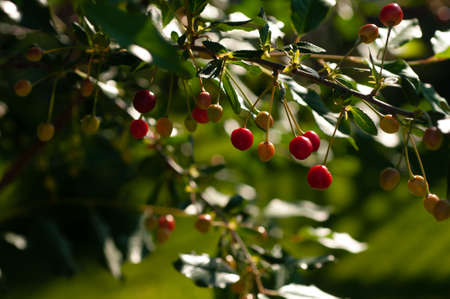 Cherry berries on a tree branch in the process of ripening close-up