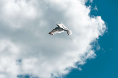 White - gray gull in a clear blue sky soars above the water