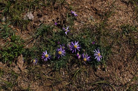 Blue daisy flower or Heteropappus altaicus in Siberia