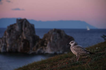 Red-necked sandpiper or Calidris ruficollis on the shore of Lake Baikal against the background of the BurKhan (Shamanka) rock on a summer evening