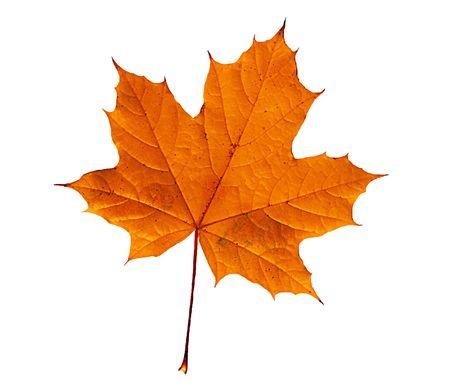 Hoja de otoño aislado sobre fondo blanco  Foto de archivo