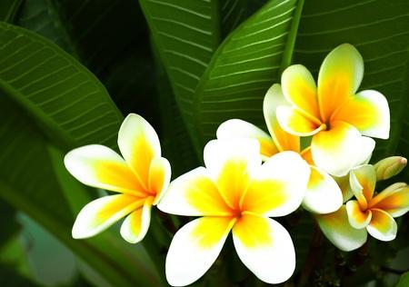 Beautiful white and yellow frangipani flowers on green background