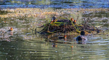 brood: coot in nest with brood of chicks and male Stock Photo