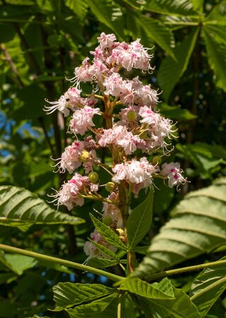 castanea sativa: Chestnut blossoms -Castanea sativa- in spring. Flowers of chestnut surrounded by foliage. Stock Photo