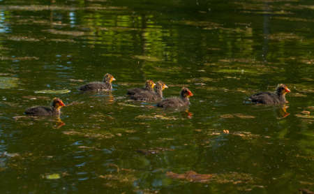 beaks: Chicks coots swim across the lake. At this age, they have red beaks. Stock Photo