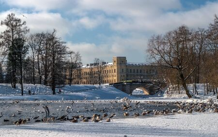 View of the Gatchina Palace from the White Lake. Winter. In the water of the pond there are many birds - ducks and seagulls. In the foreground is Karpin Bridge. Gatchina, Russia.
