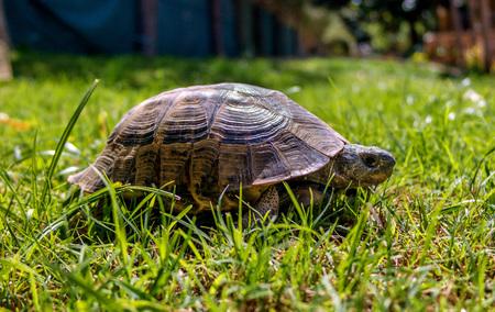 Mediterranean tortoise for a walk in the grass