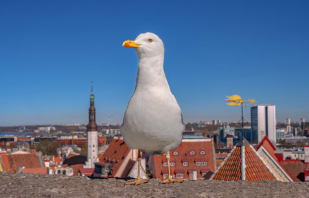 White seagull is standing on the fortress wall on the background of the city tiled roofs of Tallinn. Estonia. Foto de archivo