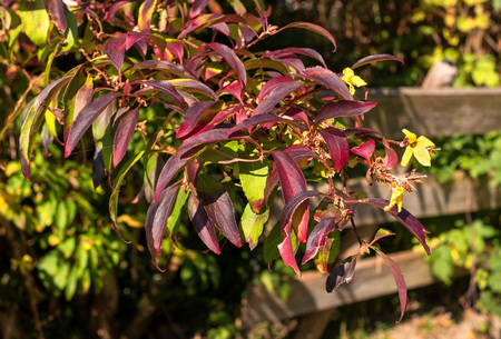 A branch of a bush Berberis. The leaves on the branch are red, others are green. Barberry flower yellow. In the background are garden fence boards.